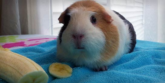 A guinea pig with a banana