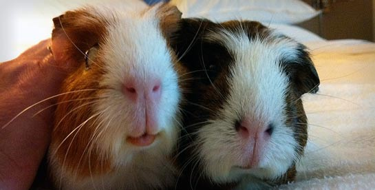two rescued guinea pigs on a bed