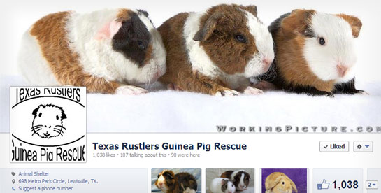 Texas Rustlers Guinea Pig Rescue's Facebook Page