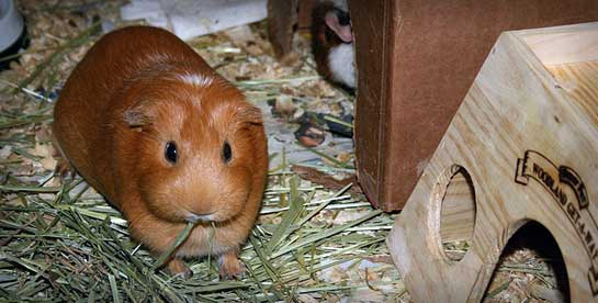 A rescue guinea pig is a happy guinea pig