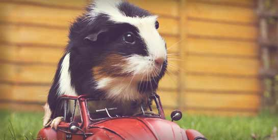 Guinea pig riding in a red toy car