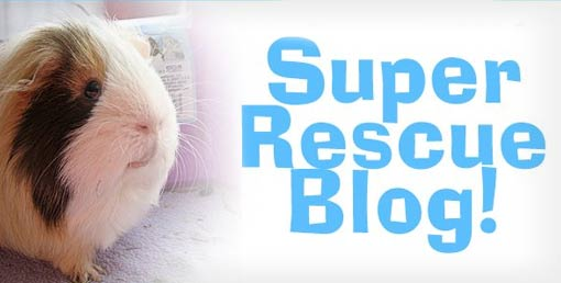 Rescued Guinea Pigs Like to Blog