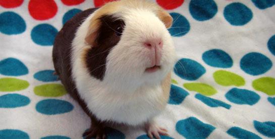 Guinea Pig On A Polka Dot Towel