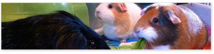 guinea pigs share food